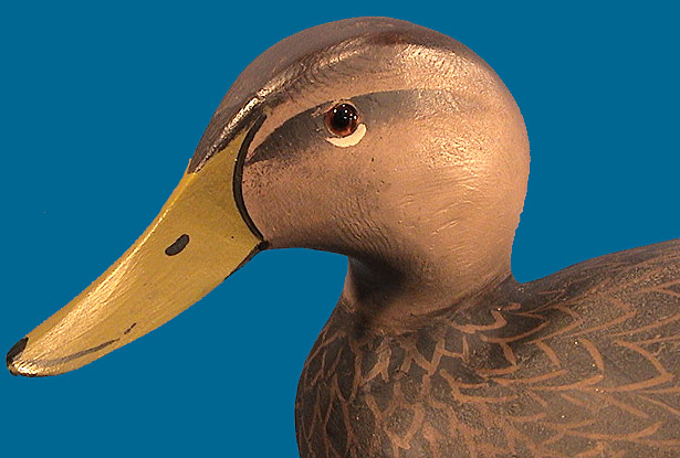 Ward Black Duck