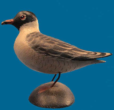 A. E. Crowell Laughing Gull