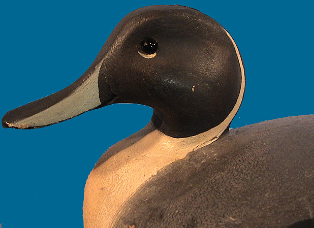 Ward Pintail